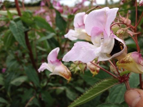 Bees love balsam